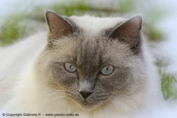 Studie zur Genetik der Blutgruppe bei Katzen
